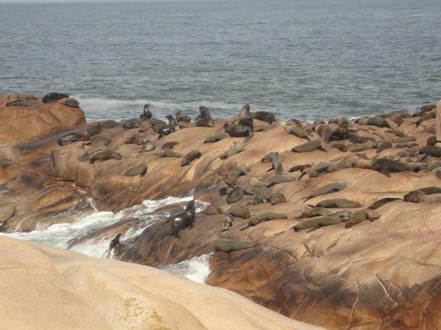 Uruguay fur seal