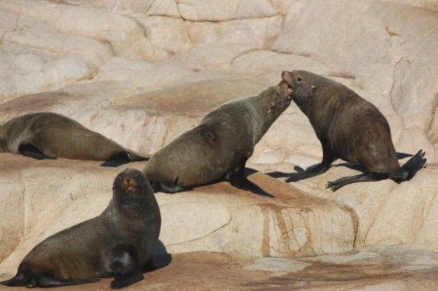Cabo Polonia deniz aslani