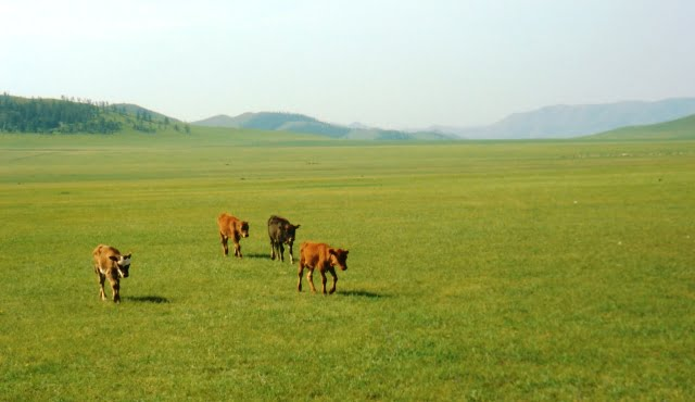 moğolistan hayvancılık