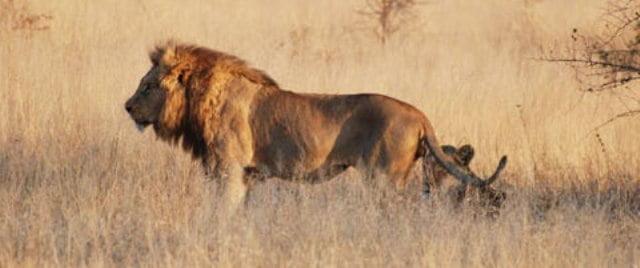 Afrika aslan
