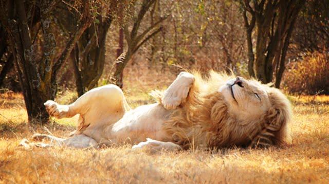 afrika aslanı
