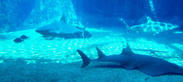 afrika köpekbalığı