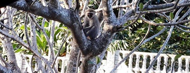 afrika maymun
