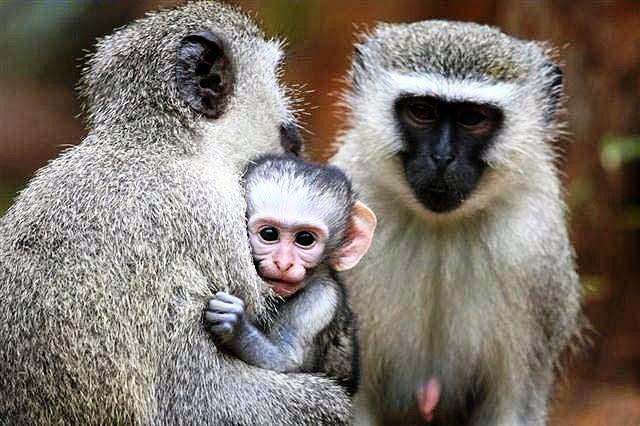 afrika maymunu