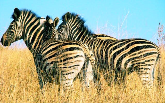 afrika zebra