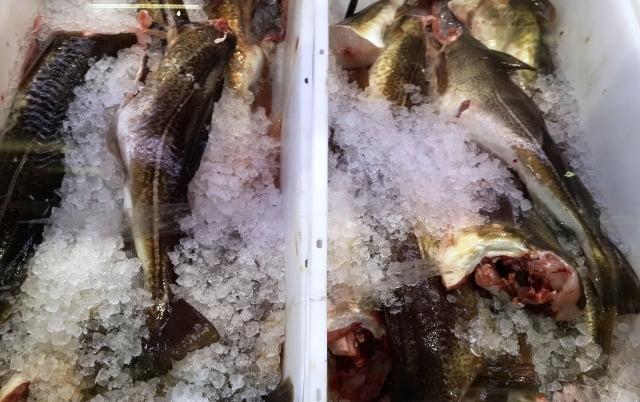 Kutuplarda yaşayan balık türleri