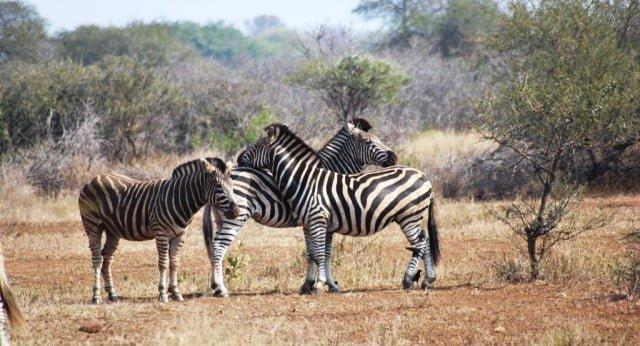zebra hakkında bilgi