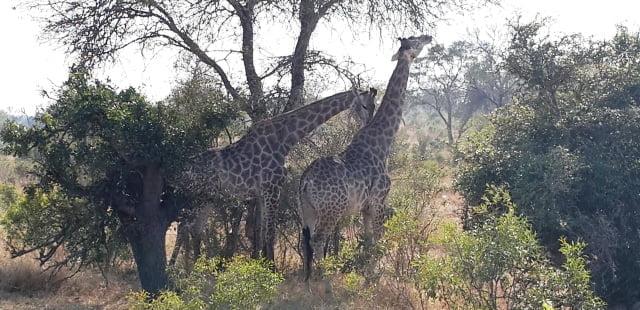 zürafa çiftleşmesi